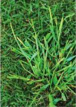 Lawn Weeds—Crabgrass and Broadleaf Weeds