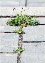 pavement weeds
